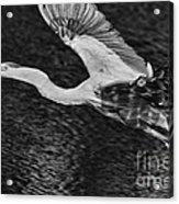 Heron On The Move Up Close Acrylic Print