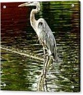 Heron On The Stick Acrylic Print