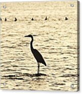 Heron Standing In Water Acrylic Print