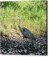 Heron Travels  Acrylic Print