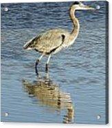 Heron Walking Through The Water. Acrylic Print