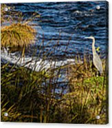 Heron Watchful Eye Acrylic Print