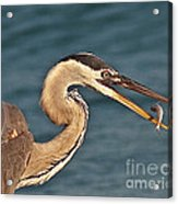 Heron With Catch Acrylic Print