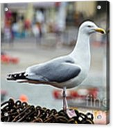 Herring Gull At The Harbour Acrylic Print
