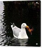Herring Gull With Crab Acrylic Print