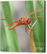 Hi Dragon Fly Acrylic Print