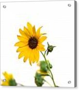Hi Key Sunflower Acrylic Print