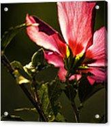 Hibiscus 03 Acrylic Print