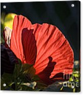 Hibiscus 10 Acrylic Print