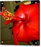 Hibiscus 12 Acrylic Print by M Landis