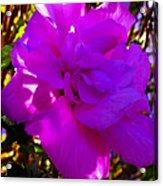 Hibiscus 4 Acrylic Print