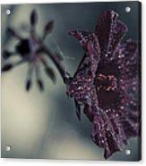 Hibiscus Acetosella Acrylic Print