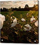 Hibiscus At Sunrise  Acrylic Print