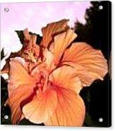 Hibiscus At Sunset Acrylic Print