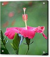Hibiscus Ballerina Acrylic Print