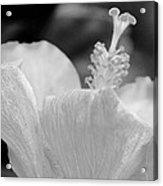 Hibiscus Bw Acrylic Print