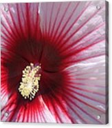 Hibiscus-callaway Gardens Acrylic Print