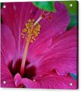 Hibiscus Closeup  Acrylic Print
