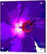 Hibiscus - Flower - Ile De La Reunion - Reunin Island Acrylic Print