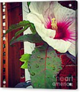 Hibiscus Flower In Bloom Acrylic Print