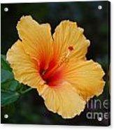 Hibiscus Flower In Puerto Rico Acrylic Print