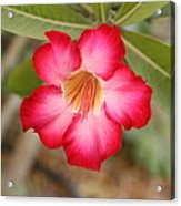 Hibiscus Flower Acrylic Print by Maeve O Connell