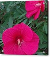 Hibiscus Flower Times Two Acrylic Print