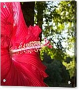 Hibiscus - Lord Baltimore Acrylic Print