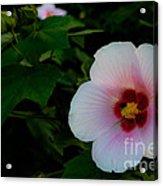 Hibiscus Mutabilis Flower Acrylic Print