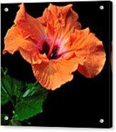 Hibiscus On Black - One Acrylic Print