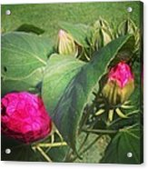 Hibiscus Read To Bloom Acrylic Print