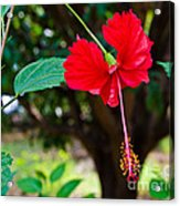 Hibiscus Rosa-sinensis / China Rose Flower Acrylic Print