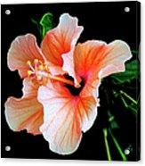 Hibiscus Spectacular Acrylic Print by Ben and Raisa Gertsberg
