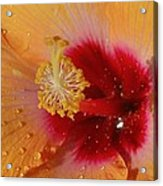 Hibiscus Stamen IIi Acrylic Print