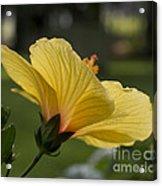 Hibiscus 'sunny Wind'  3407 Acrylic Print