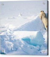 Hide And Seek, Ursus Maritimes, Fulmars Acrylic Print
