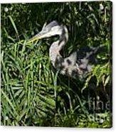 Hiding Blue Heron Acrylic Print