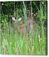 Hiding Deer Acrylic Print