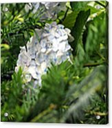 Hiding Hydrangea Acrylic Print