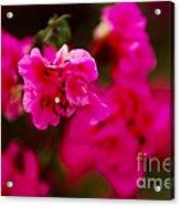 Hiding In Pink Acrylic Print