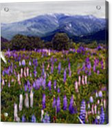 High Country Lupine Dreams Acrylic Print
