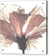 High Key Hibiscus Acrylic Print