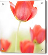 High Key Tulips Acrylic Print