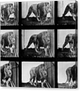 High-speed Sequence Of A Walking Lion By Muybridge Acrylic Print