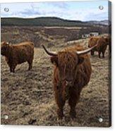 Highland Cattle Gang Acrylic Print