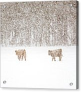 Highland Cattle In The Snow Acrylic Print