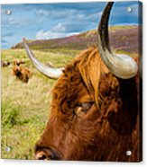 Highland Cattle On Scottish Pasture Acrylic Print