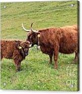 Highland Caws Acrylic Print