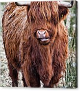 Highland Coo Acrylic Print