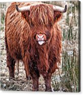 Highland Coo With Tongue Out Acrylic Print by John Farnan